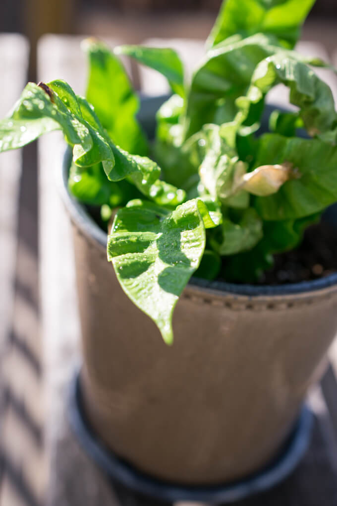 Crispy Wave Plant Care and Troubleshooting | Yup, It's Vegan!